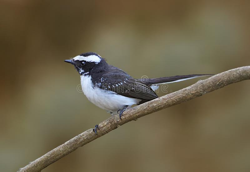 White-browed fantail royalty free stock image