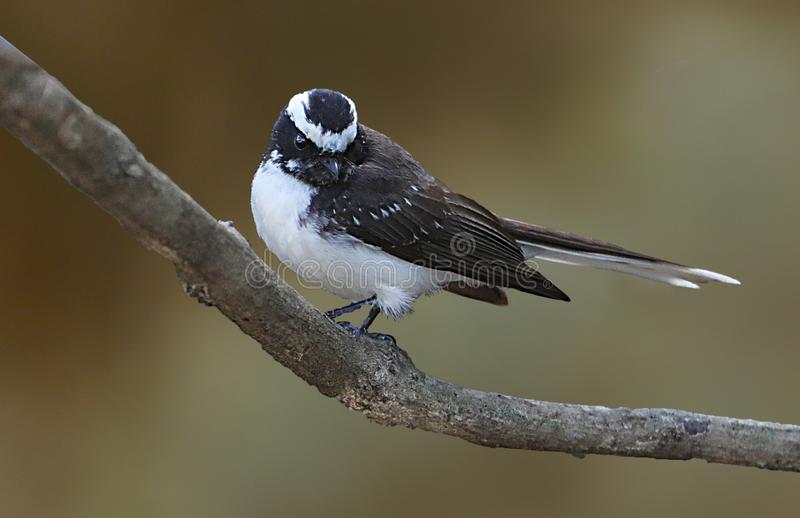 White-browed fantail royalty free stock photography