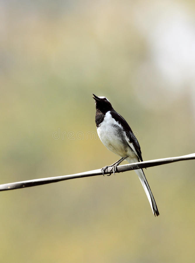 White-browed wagtail sitting on a wire royalty free stock photos
