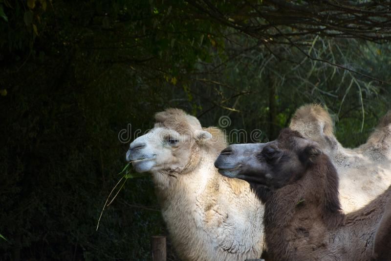 White and brown Bactrian camel, Camelus bactrianus is a large, even-toed ungulate native to the steppes of Central Asia.  royalty free stock image