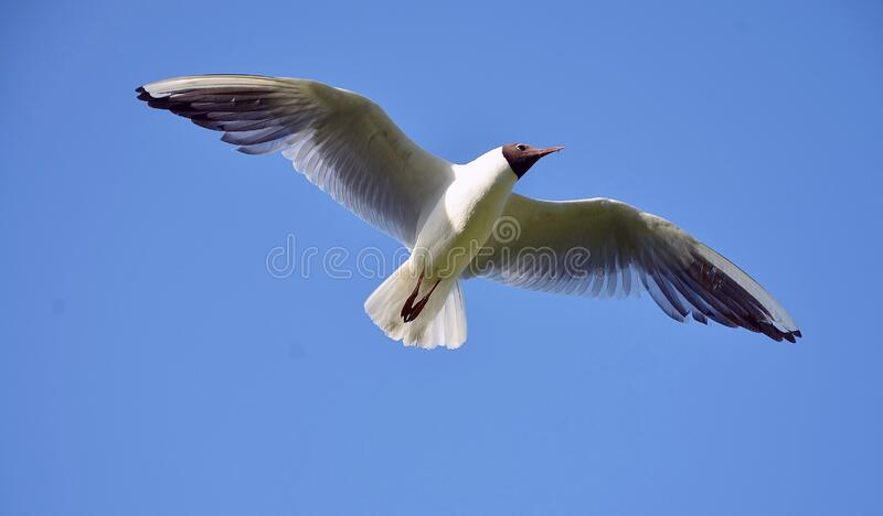 White and Brown Bird Flying Under Blue Sky during Daytime royalty free stock photos