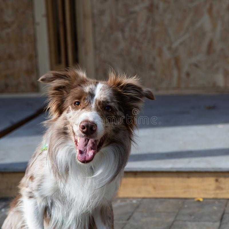 White-brown Border Collie dog. An old English breed of smart and moving shepherd dogs of medium size stock images