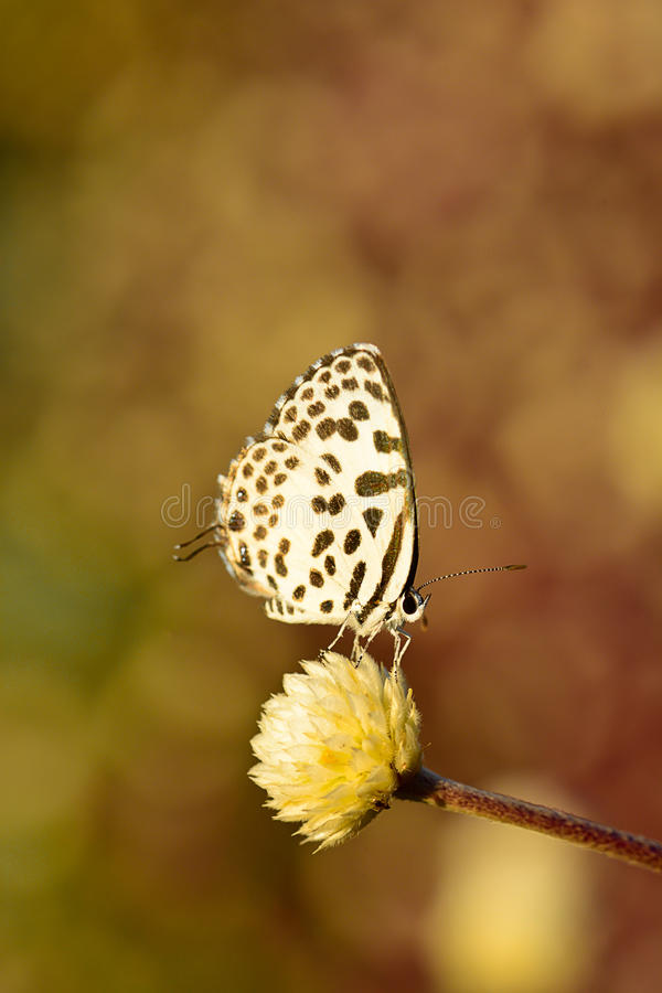 White brown butterfly hanging on flower with bokeh background. Closeup of white brown butterfly hanging on flower with dark tone blur bokeh background royalty free stock photos