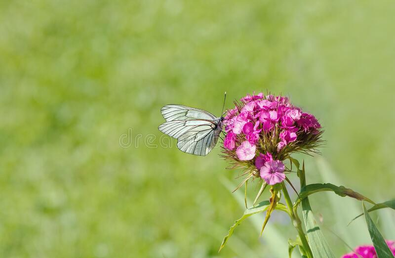 White Brown Butterfly Perched On Pink Flower Free Public Domain Cc0 Image