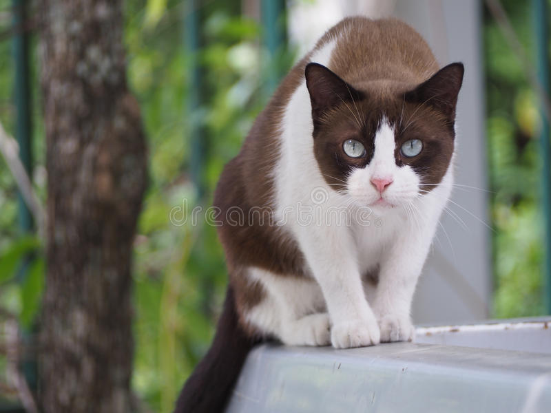 The white brown cat is staring not blink.  stock images
