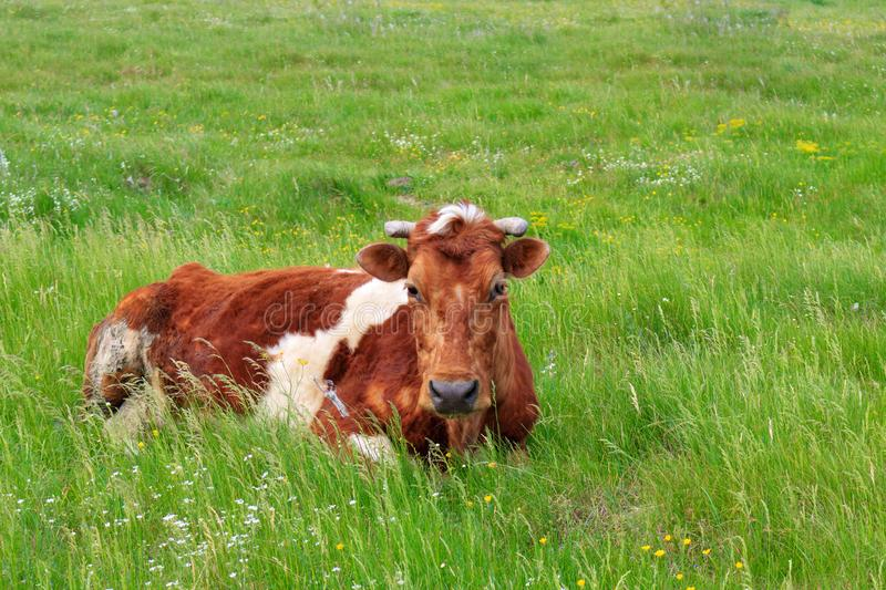 White-brown cow lying in the green grass in the meadow on a summer day stock images