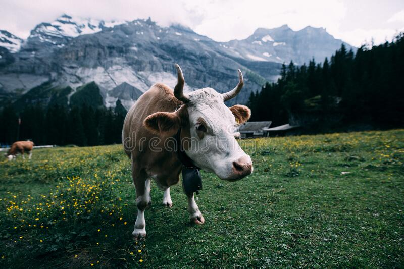 White and Brown Cow Near Mountain during Daytime royalty free stock photos