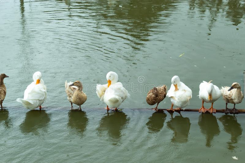 White and brown duck standing on a wooden drowning. royalty free stock photos