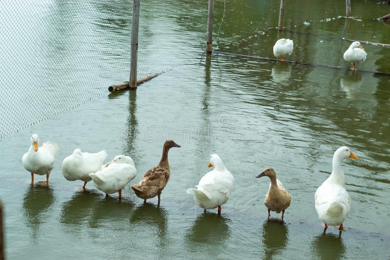White and brown duck standing on a wooden drowning. royalty free stock image