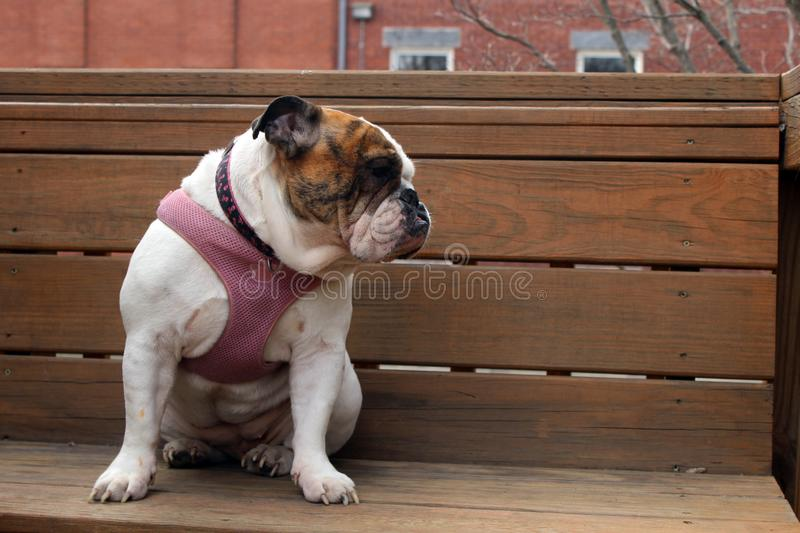 White and brown female English Bulldog wearing a pink collar royalty free stock photography