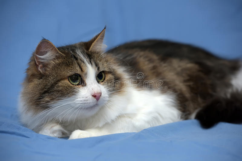 White with brown fluffy cat. On blue background royalty free stock photography