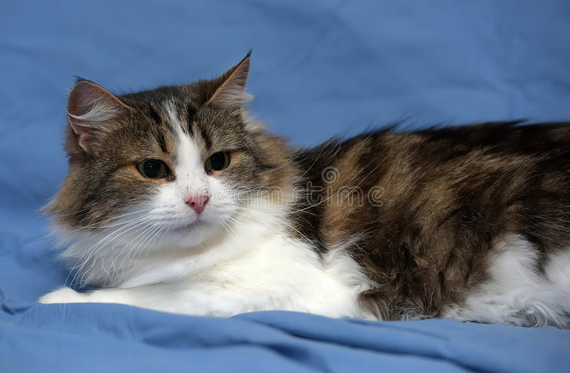 White with brown fluffy cat. On blue background stock image