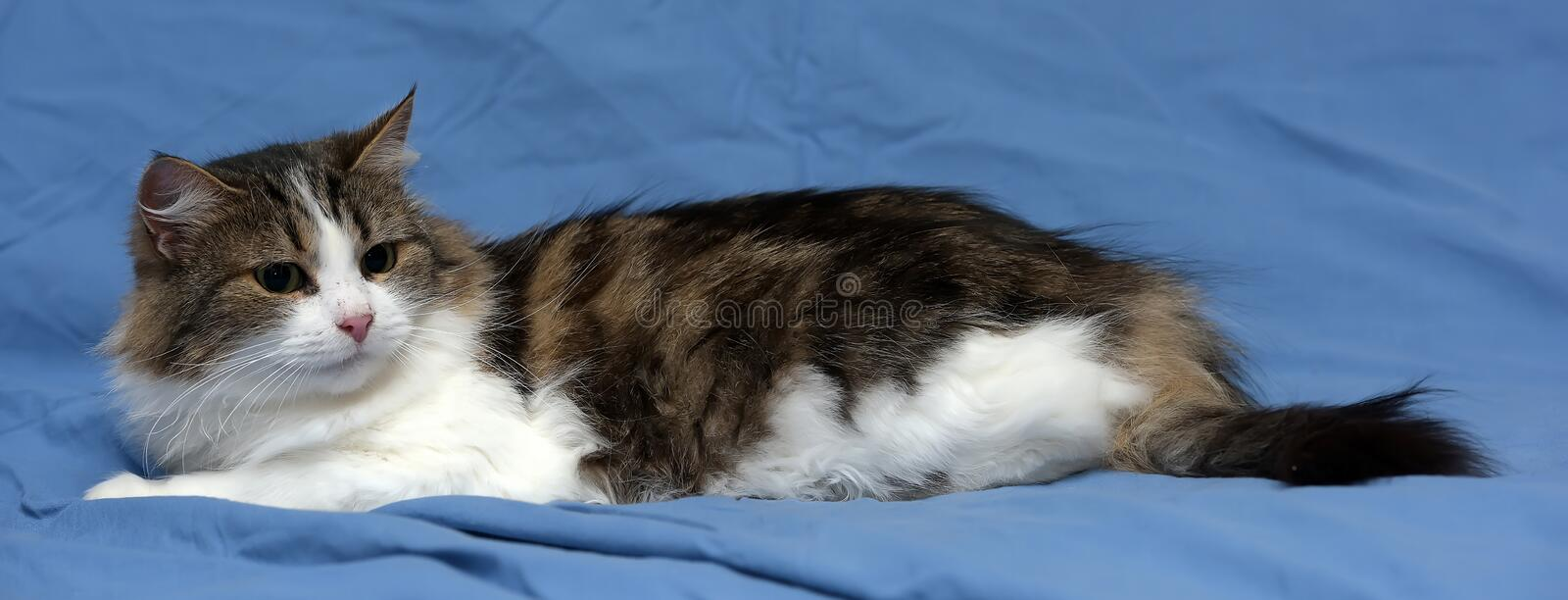 White with brown fluffy cat. On blue background stock photo