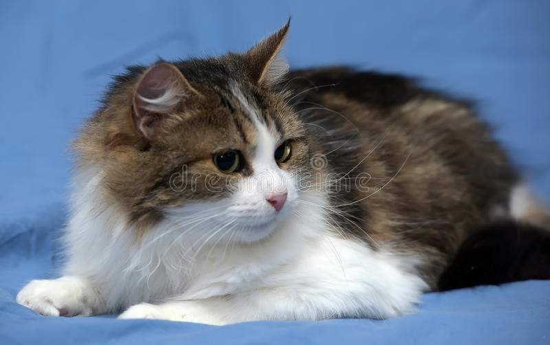 White with brown fluffy cat. On blue background stock photos
