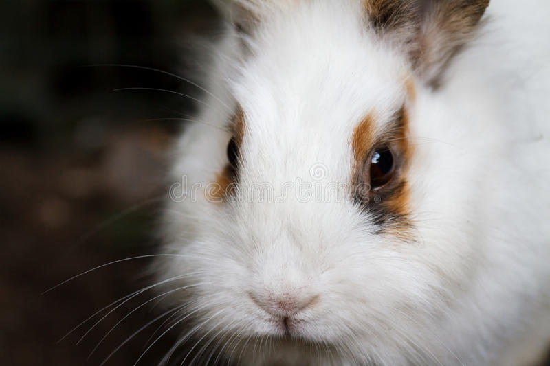 White-brown fluffy rabbit close-up. royalty free stock photo