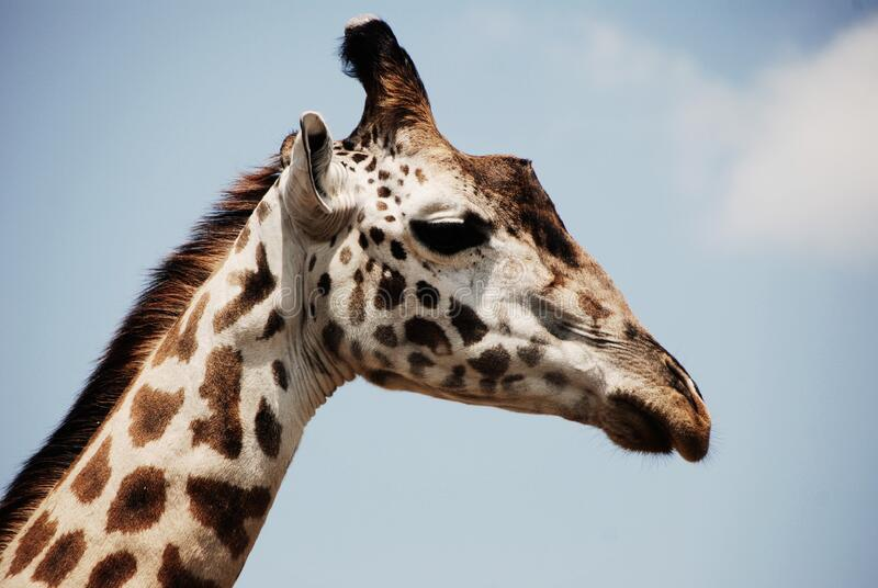 White and Brown Giraffe royalty free stock image