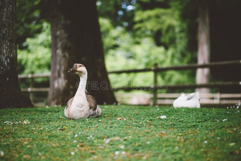 White And Brown Goose Sitting On The Grass Free Public Domain Cc0 Image