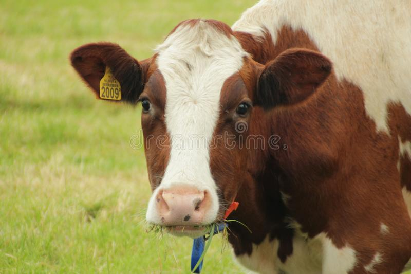 White brown head of a cow in the meadow in the Netherlands. stock image