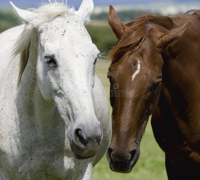 White and brown horse. Are together royalty free stock image
