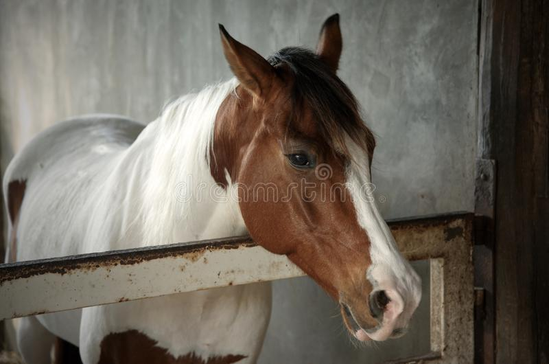 White and brown horse in the stable : Close up stock photography