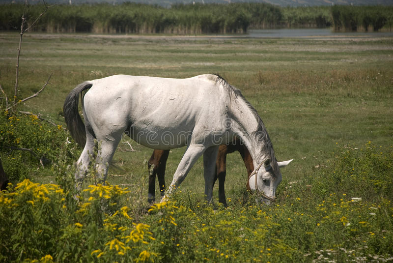 Download White And Brown Horses Stock Images - Image: 15581284