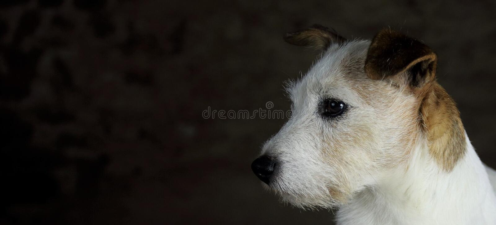 Head of white and brown Jack Russell dog with copy space. White and brown Jack Russell head with a dark background and copy space to the left royalty free stock photos