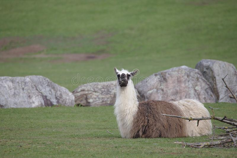 White brown llama with black head lying on a green field looking to camera. White brown llama with black head lying on a green rocky field looking to camera stock photography