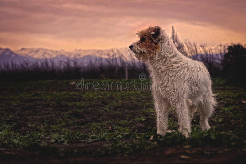 White And Brown Long Coated Dog Free Public Domain Cc0 Image