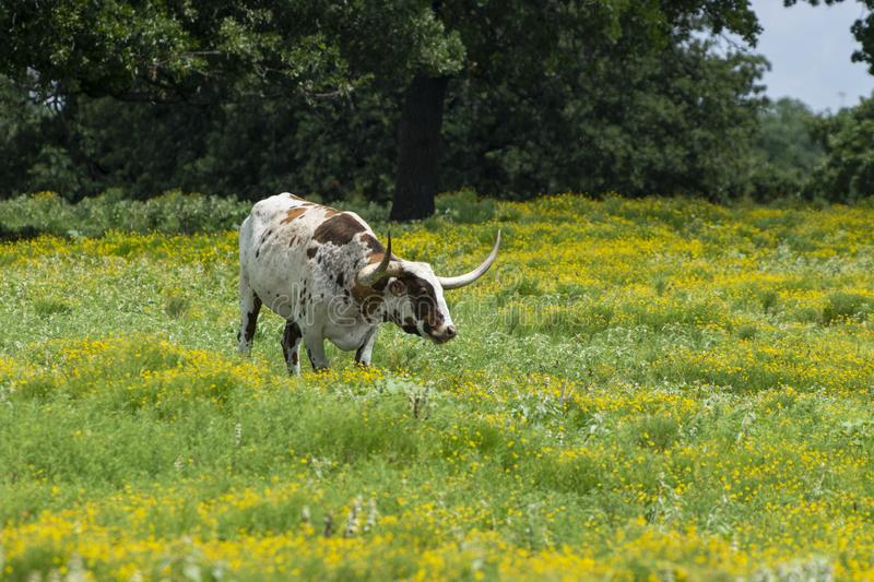 White and brown Longhorn standing in yellow flowers. A white Longhorn cow with brown spots and long, curved horns standing in a ranch meadow filled with green royalty free stock photography
