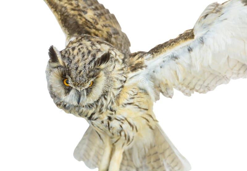 White- brown owl. Beautiful white- brown owl on white background (macro, isolated on white royalty free stock photo