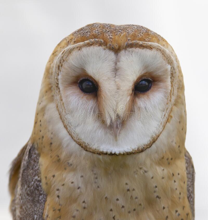 White And Brown Owl Free Public Domain Cc0 Image