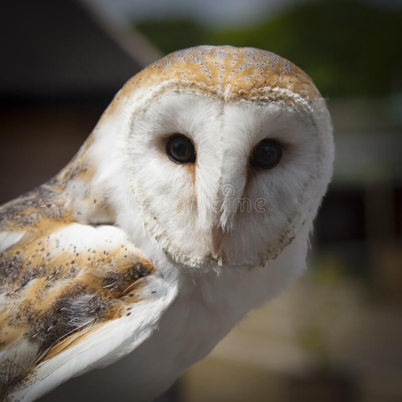 White and Brown Owl Animal stock photography