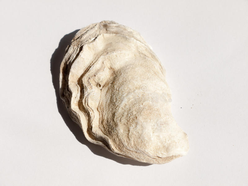 a white and brown rough textured oyster shell on a white background stock images