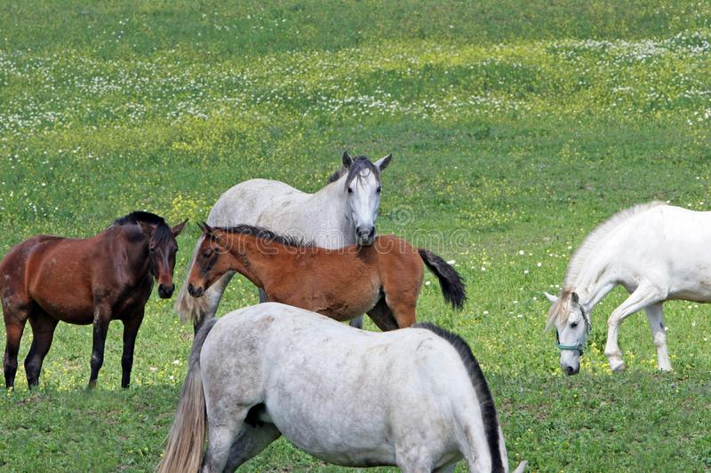 White and Brown Spanish Andalucian horses in a field royalty free stock photos