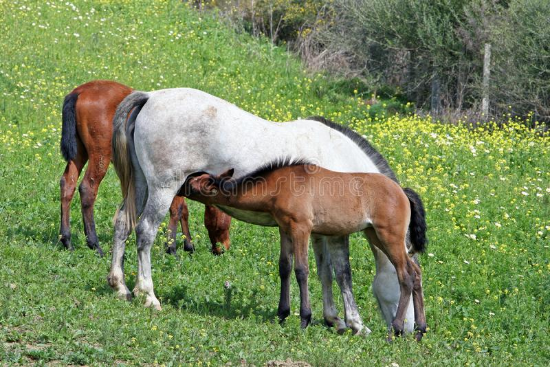 White and Brown Spanish Andalucian horses in a field royalty free stock images
