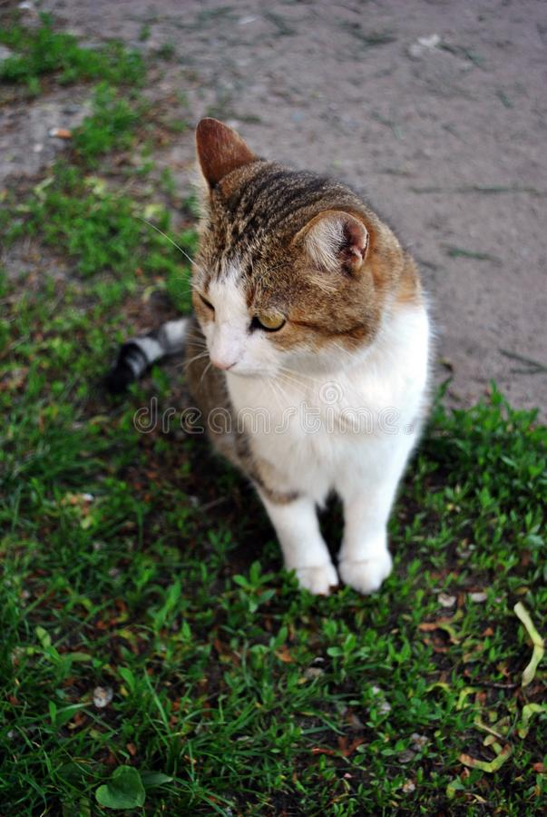 White and brown spotted Cyprus cat breed sitting on grass stock images