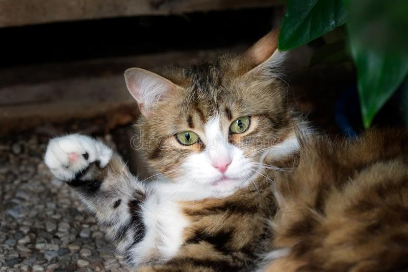 White and brown striped cat raising its paw. Photo of a confused brown, white and black striped cat raising its paw stock photo