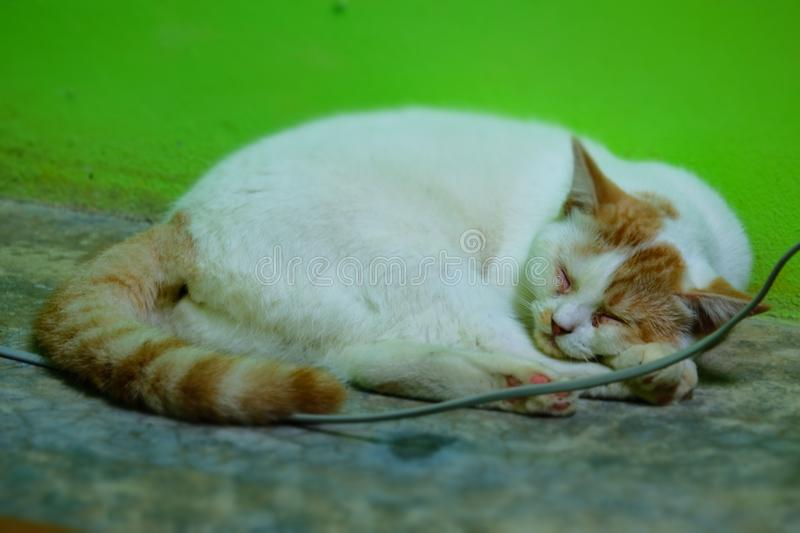 White and brown thailand cat sleeping. royalty free stock image