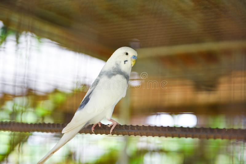 White budgie parrot pet bird or budgerigar parakeet common in the cage bird farm. White budgie parrot pet bird or budgerigar parakeet common in the cage at bird royalty free stock photo