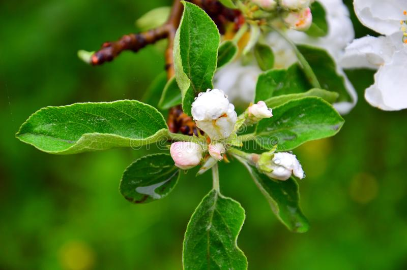 White buds of Apple flowers. A branch of a flowering Apple tree after the rain. Large raindrops on the flower buds. It`s spring. stock images