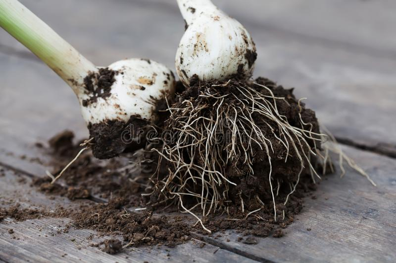 White bulb onion plant roots with soil on wooden table, selective focus. royalty free stock images