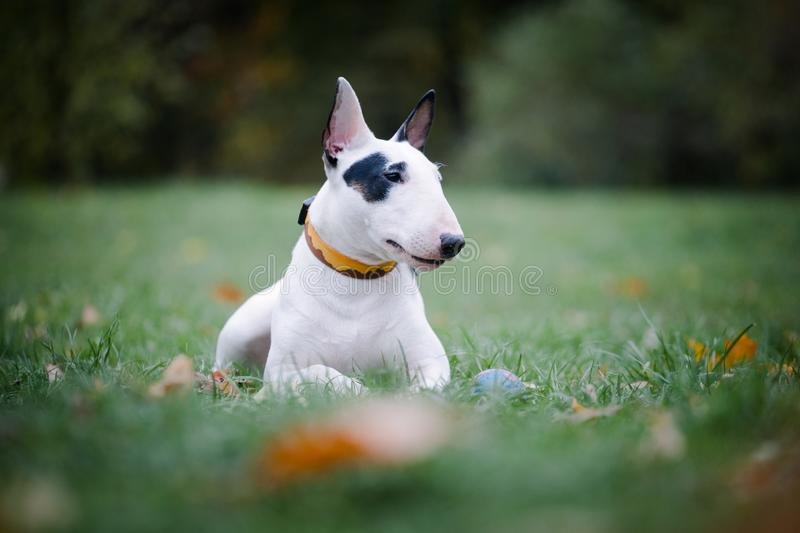 White bull breed dog with a black spot lies on the grass in the park. White bullterrier breed dog with a black spot near the eye lies on the grass in the park royalty free stock images