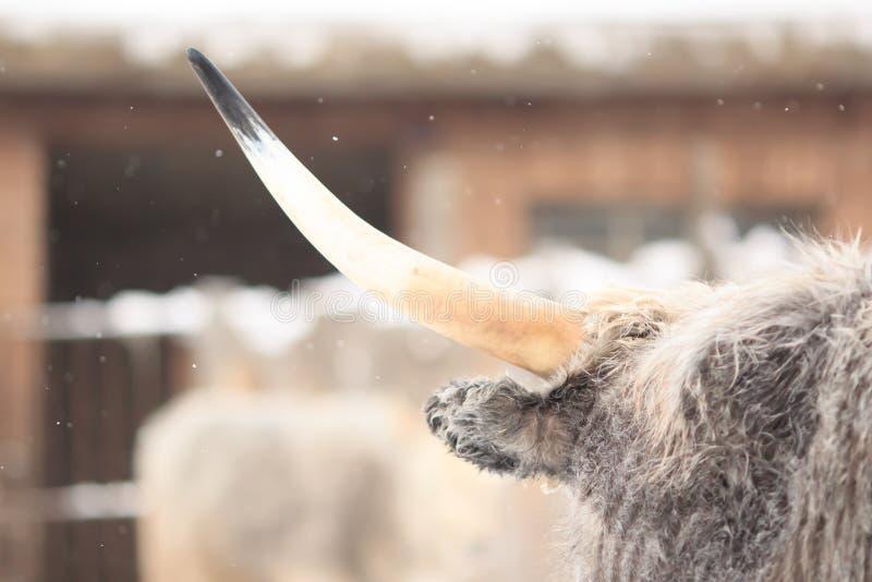 White bull's horn royalty free stock image
