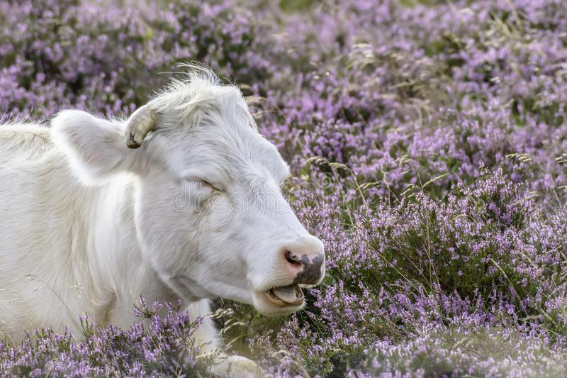 Sweet dreams. White bull sleeping with open muzzle on moor covered with vibrant violet heather flowers.Organic farming in rural uk.Sweet dreams.Copy space royalty free stock photos