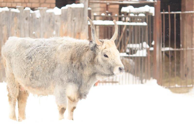 White bull royalty free stock photo