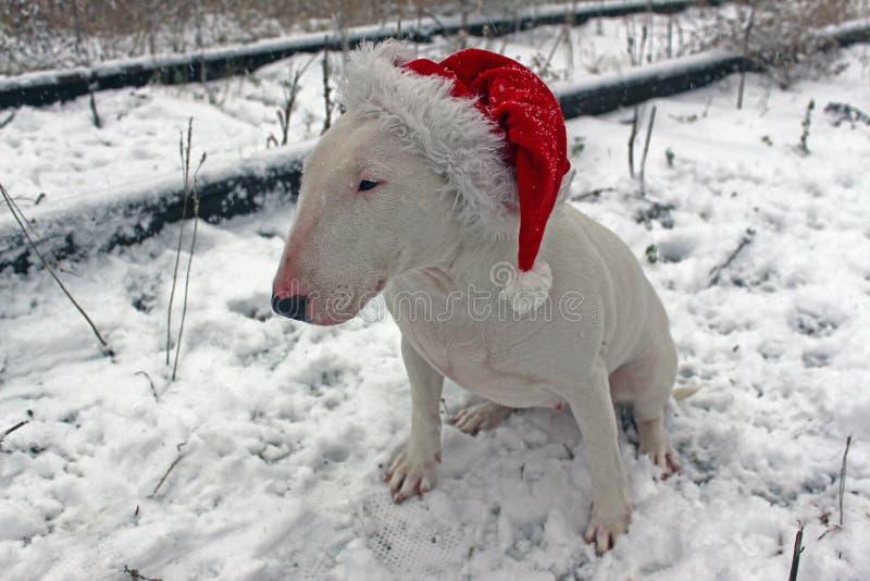 White bull Terrier royalty free stock photo