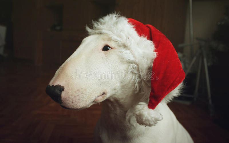 White bull Terrier in a Christmas hat stock photo