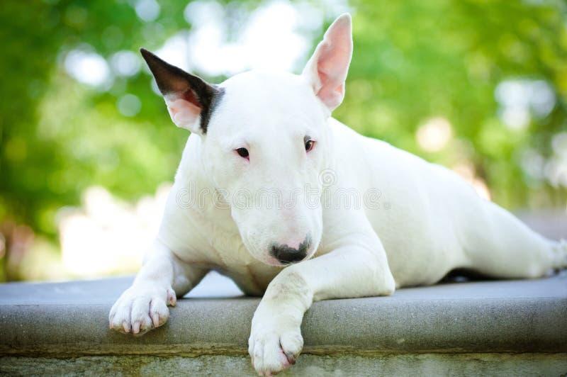 White bull terrier dog on concrete. White bull terrier dog lying on concrete royalty free stock photo