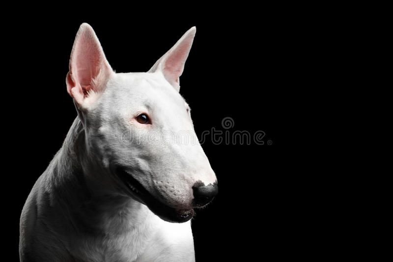 White Bull Terrier on isolated black background. Close-up portrait of White Bull Terrier Dog Looking side on isolated black background, profile view royalty free stock images