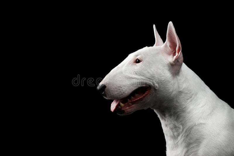 White Bull Terrier on isolated black background stock photography